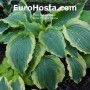 Hosta Tropical Dancer - Eurohosta