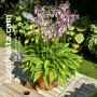 Hosta Twist of Lime