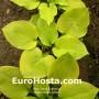 Hosta Vanilla Cream - Eurohosta