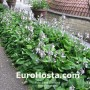 Hosta Ventricosa - Eurohosta