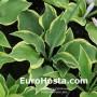 Hosta Veronica Lake - Eurohosta