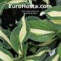 Hosta White Bikini - Eurohosta