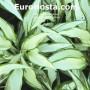 Hosta White Christmas - Eurohosta