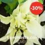 Hosta White Feather - Eurohosta