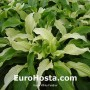 Hosta White Feather - Eurohosta
