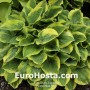 Hosta Wide Brim - Eurohosta