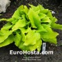 Hosta Wind River Gold