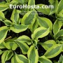 Hosta Yellow Polka Dot Bikiny - Eurohosta