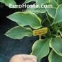 Hosta Yellow River - Eurohosta