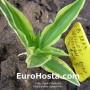 Hosta Yellow Splash Rim - Eurohosta