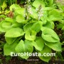 Hosta Zounds - Eurohosta