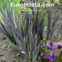 Iris Versicolor Dark Aura - Eurohosta
