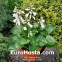 Hosta Lakeside Lollipop - Eurohosta