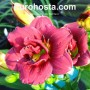 Hemerocallis Little Red Baron