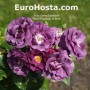Ruža Rhapsody In Blue - Eurohosta
