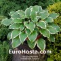 Hosta Secret Treasure