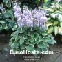 Hosta Snowy Lake