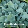 Hosta Theo's Blue - Eurohosta